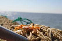 Fangfahrt Krabbe